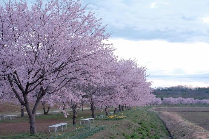 朝一の寒桜