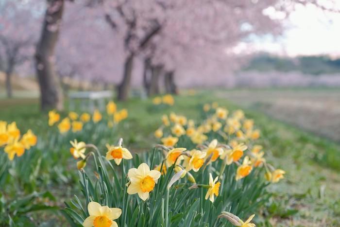 寒桜と水仙