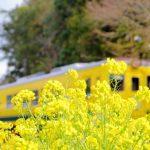 上総中野の菜の花といすみ鉄道