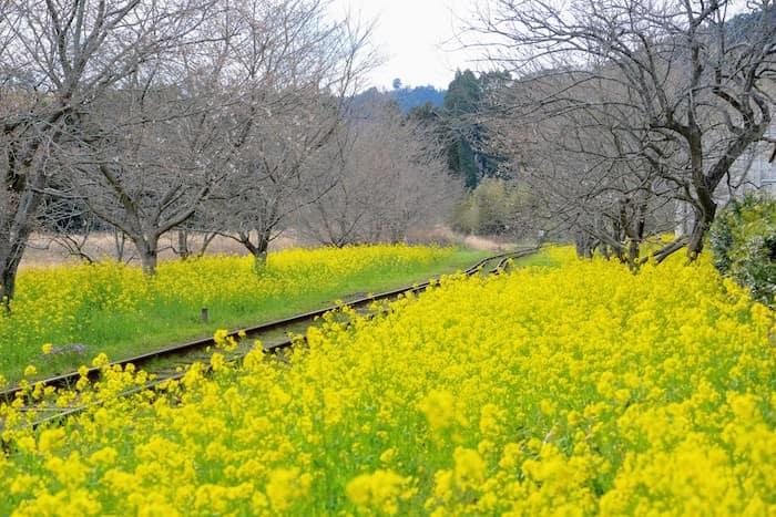 線路と菜の花
