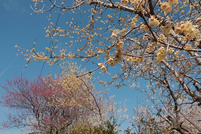 大川原梅園とハーブ園の蝋梅