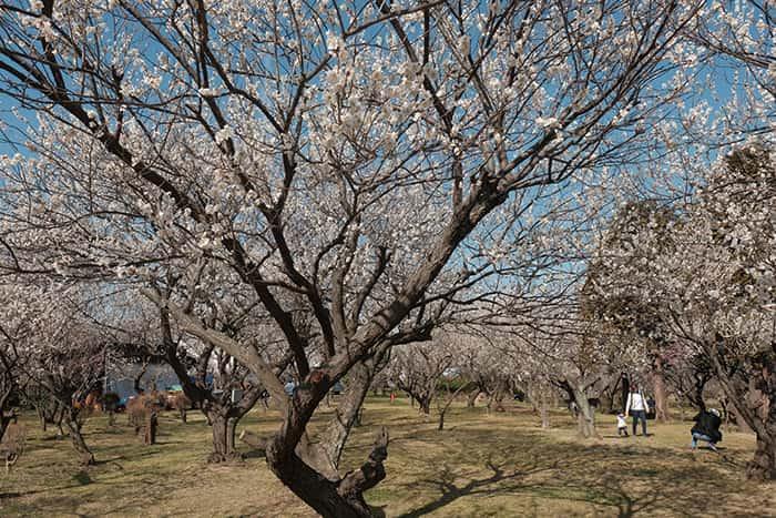 大川原梅園とハーブ園で親子