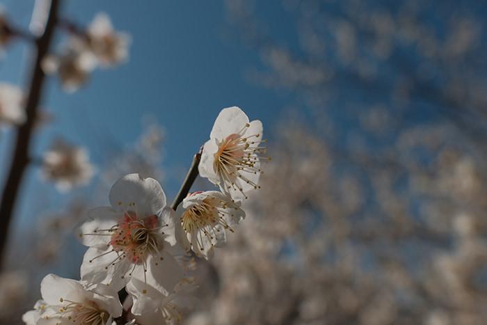 大川原梅園とハーブ園の白い梅の花