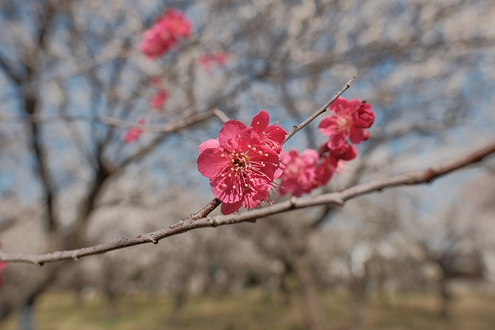 大川原梅園とハーブ園の紅い梅の花