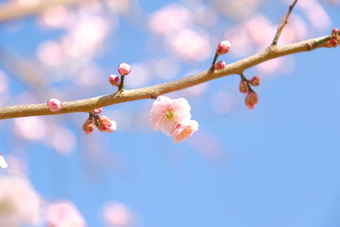 大川原梅園とハーブ園のピンクの花