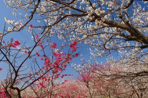 大川原梅園とハーブ園の紅白の梅の花