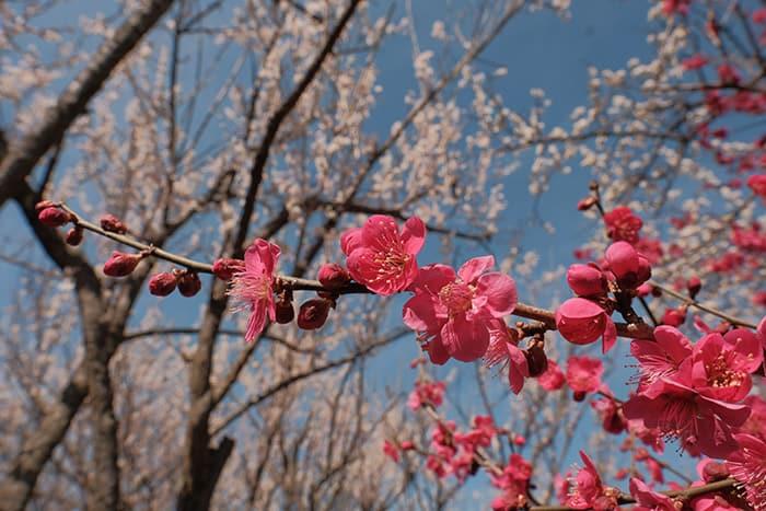 大川原梅園とハーブ園の梅の花アップ