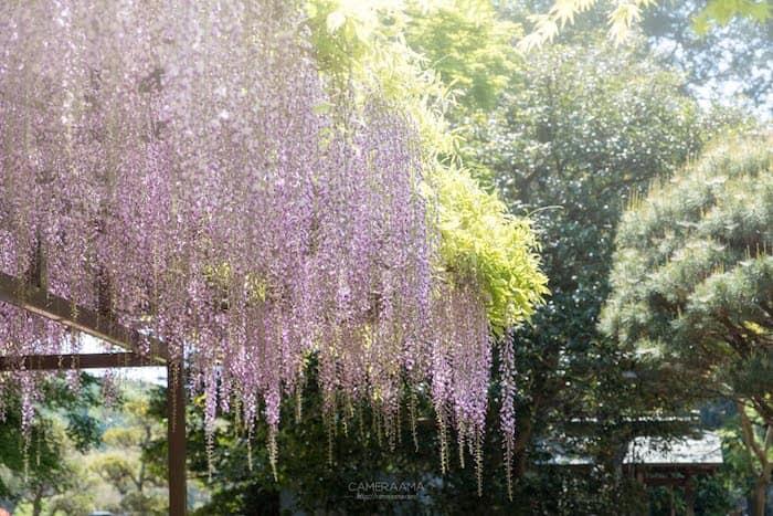 藤の花が観音寺で咲いた