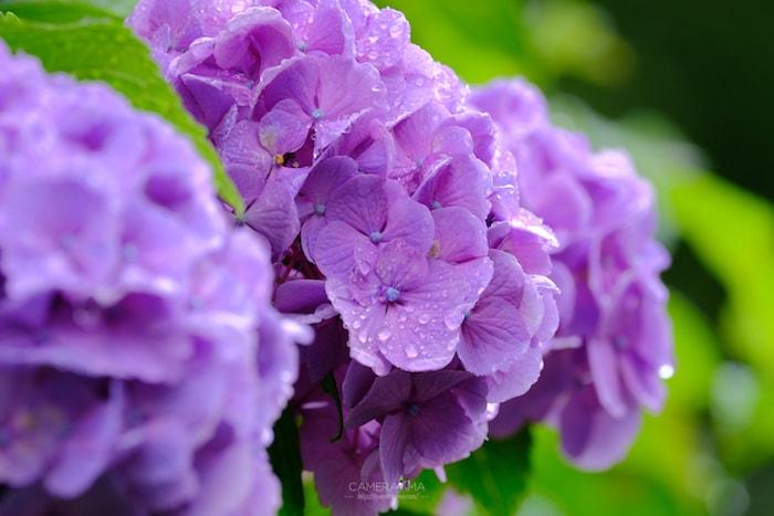 雨の日の紫陽花撮影が楽しい