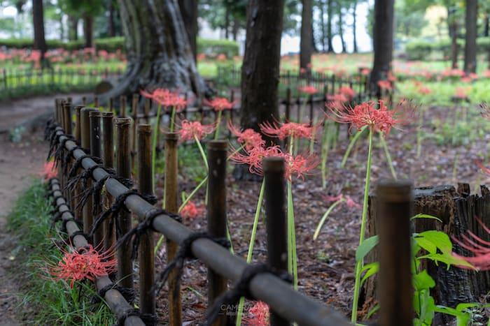 村上緑地公園内の彼岸花