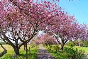 秋元牧場と八重桜